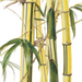 Beverly Allen Bambusa vulgaris cv.'Striata' Painted bamboo